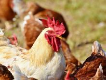อินโดสั่งลดจำนวนไก่และไข่ไก่ หวังฉุดราคาตลาด
