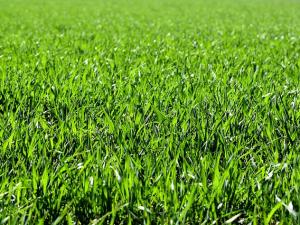 สหรัฐฯ พบหญ้าอัลฟัลฟาปนเปื้อน GMO