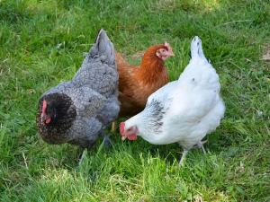 จีน: รายงานสถานการณ์ไข้หวัดนก H7N9 ขององค์การอนามั...