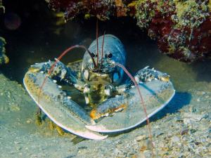 สหรัฐฯ ห้ามจับล็อบสเตอร์แนวปะการังอ่าว Maine