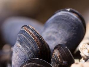 EU ปรับเพิ่มค่าตกค้างของสาร Yessotoxin ในหอยสองฝาท...