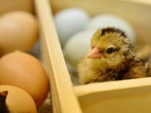 ฮ่องกงยกเลิกแบนไก่-ไข่เกาหลี