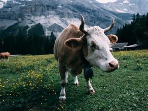 สถานการณ์โรคระบาดวัณโรคในวัวและไข้หวัดนก