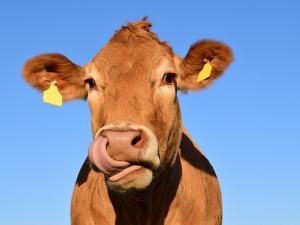 EU สมทบทุนคลี่คลายสถานการณ์อุตสาหกรรมเนื้อวัวไอริช