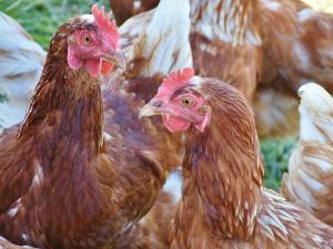 พม่า ยืนยันพบไข้หวัดนก H5N1 ระบาดแล้ว