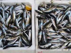 ส่งเสริมใบรับรองประมงปลาทูน่า ในอินโดนีเซีย