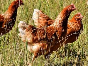 เกาหลีใต้สั่งฆ่าสัตว์ปีก ป้องกันหวัดนกระบาด