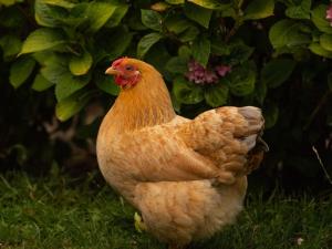 เกาหลีใต้เตรียมทำลายสัตว์ปีกเพิ่มเหตุ H5N8
