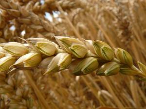 สหรัฐฯ ยืนยันการพบข้าวสาลี GMO เพียงครั้งเดียว ไม่...