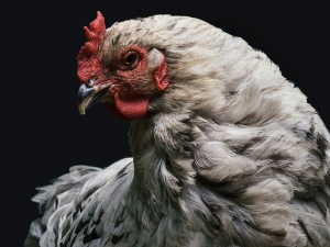 ไข้หวัดนก H5N1 ระบาดที่จังหวัดชิงไห่ของจีน