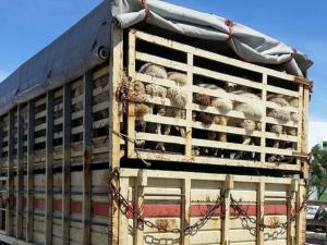 เกาหลีใต้ ยกเลิกมาตรการห้ามขนย้ายปศุสัตว์ เหตุ FMD...