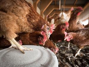 USDA ขู่สั่งปิดฟาร์มเลี้ยงไก่ 3 แห่งหลังพบการปนเปื...