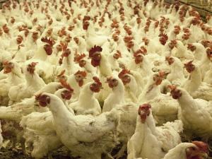 ดัตช์ทำสำเร็จลดการใช้ยาปฏิชีวนะในไก่ได้กว่า 70% ใน...