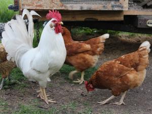 กรีซพบสารปฏิชีวนะ nitrofurantoin ในฟาร์มสัตว์ปีก