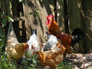 ตรวจพบเชื้อไข้หวัดนกในฟาร์มเลี้ยงไก่เนื้อในประเทศญ...