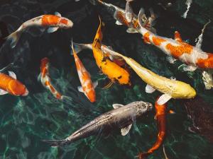 เวียดนาม ส่งออกปลาสวายจีน – มะกันลด ฟากตลาด EU เติ...