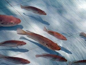 OIE เผยแพร่ข้อมูล Tilapia Lake Virus