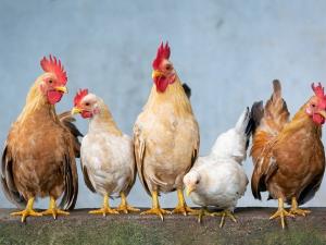 USDA ยืนยันพบ ไข้หวัดนก H7N3 ในไก่งวงรัฐเซาท์แคโรไ...