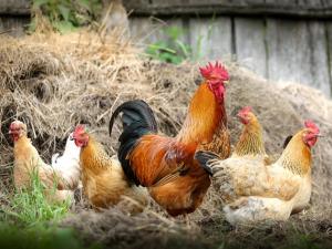 ซาอุดิอาระเบียลดการนำเข้าสัตว์ปีกเพื่อเพิ่มผลผลิตใ...