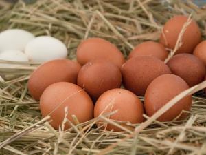 ออสเตรเลียพบพืชไม้พุ่มช่วยเพิ่มคุณภาพไข่ไก่