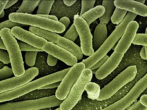 แบคทีเรียเรืองแสงสู่การพัฒนาเพื่อความปลอดภัยอาหาร