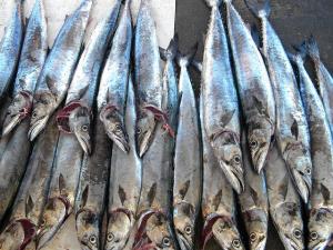 เวียดนาม ราคาปลาสวาย (tra) เริ่มนิ่ง