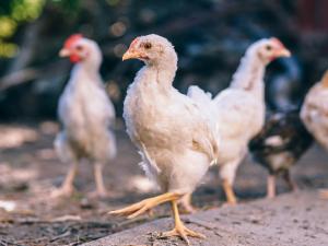 ไทเปยืนยัน พบไข้หวัดนก H5N2 ระบาดรุนแรง