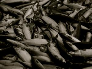 ชาวเลมะกันเสียโควตาจับปลาจำนวนมากจากสัญญาประมงร่วม...