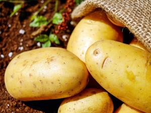 แคนาดารับรองมันฝรั่ง GMO 3 สายพันธุ์ เปิดช่องซื้อข...