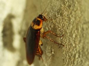 ญี่ปุ่น: ผู้บริโภคพบแมลงสาบในอาหารแช่แข็ง
