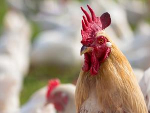 ฝรั่งเศส ไข้หวัดนกระบาด! สิงคโปร์ระงับนำเข้าไก่